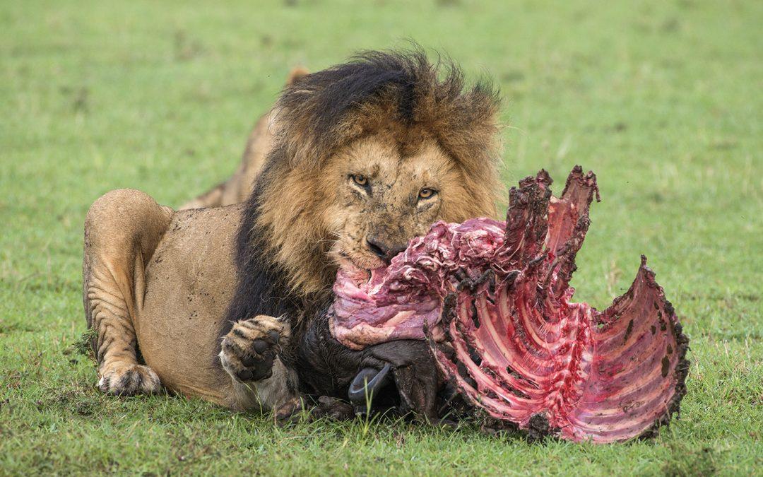 Cómo hacer las mejores fotos de leones