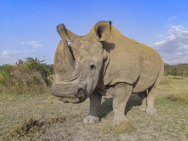 Adiós a Sudan, el último macho de rinoceronte blanco del norte