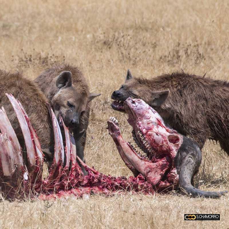Hienas y búfalo
