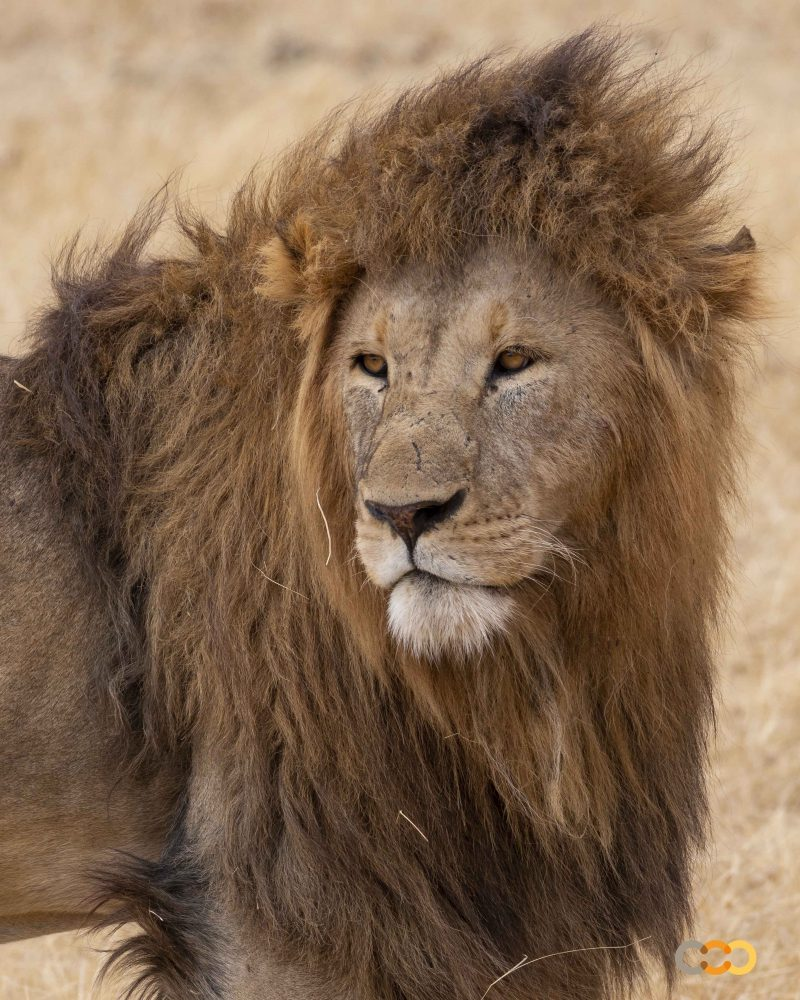 León en el Ngorongoro