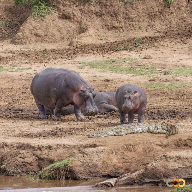 Hipopótamos y cocodrilo