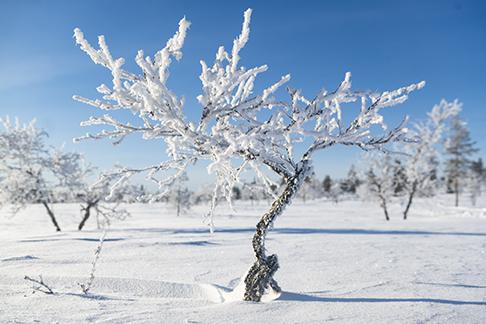 Abedul en Laponia