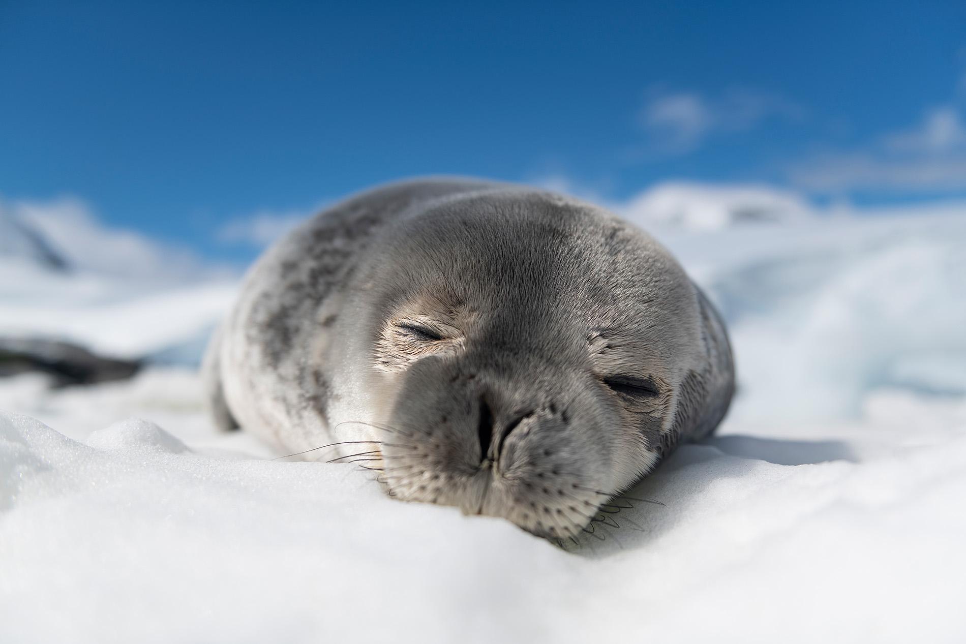 Foca de weddell en la Antártida