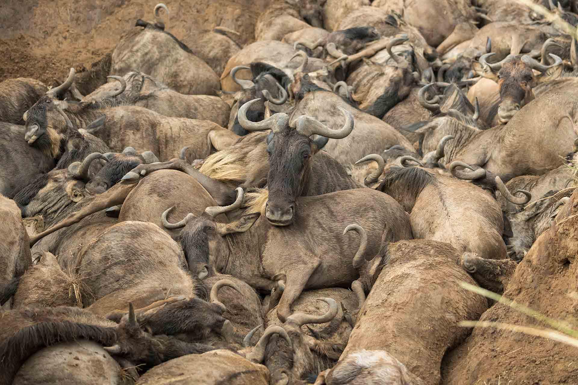 Montonera de ñus en el Masai Mara