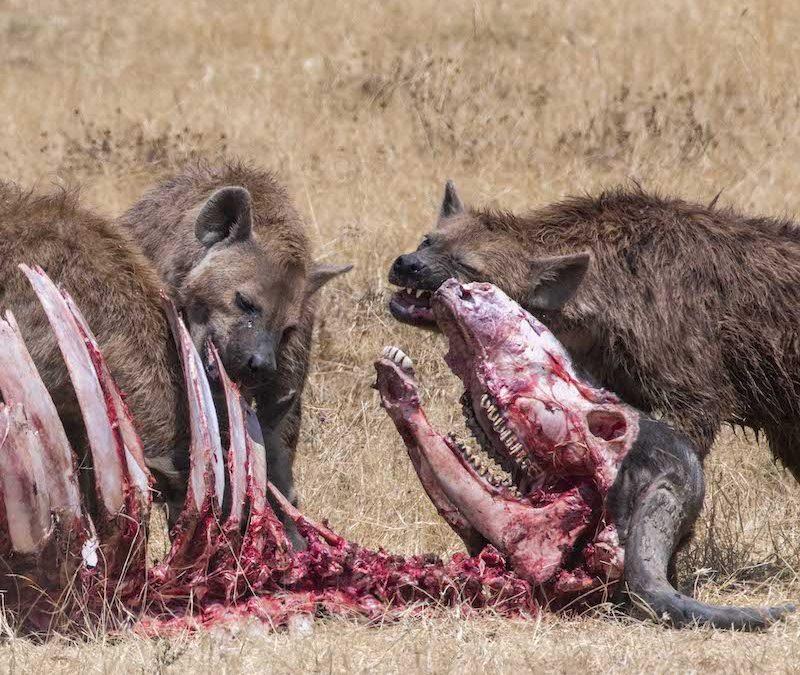 Desmitificando las hienas: razones para olvidarse de su mala fama