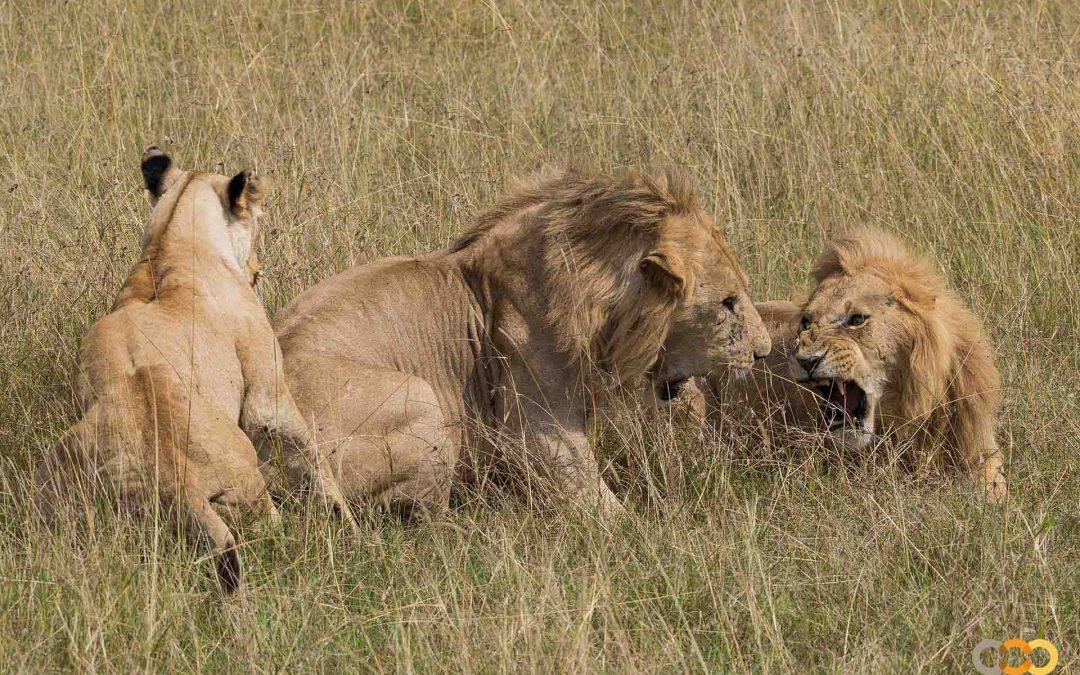 Qué debes conocer del león, el rey de la sabana